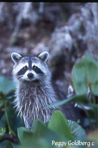 Racoon on the Silver River